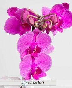 Asaletli Mor 2 Dal Orkide 2