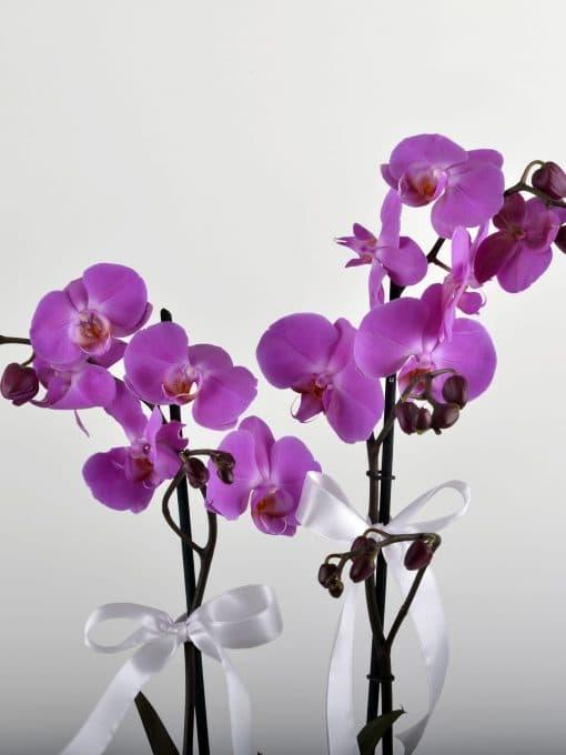 Çift Dallı Fuşya Orkide Arajmanı – 3
