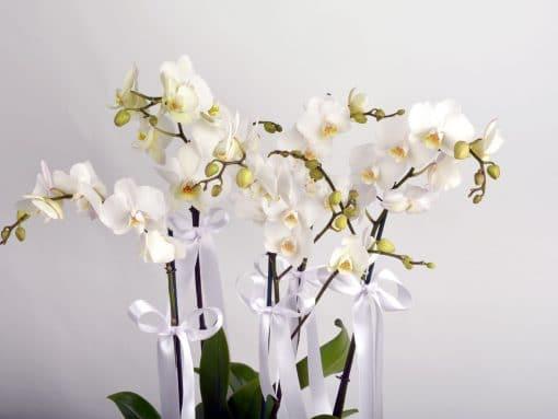 5 Dal Beyaz Orkide -3