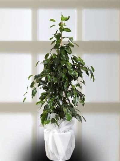 Benjamin Topraklı Saksı Çiçeği