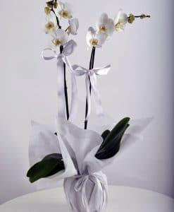 Beyaz 2 Dallı Orkide Çiçeği – 2