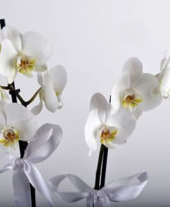 Beyaz 2 Dallı Orkide Çiçeği – 3