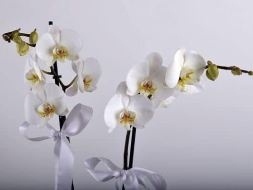 Hediye Kutusunda Çift Dallı Beyaz orkide – 3