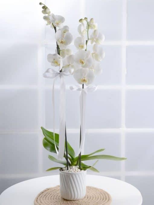 Masumiyet Timsali Beyaz Orkide – 1