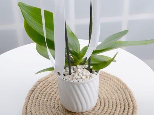 Masumiyet Timsali Beyaz Orkide – 2