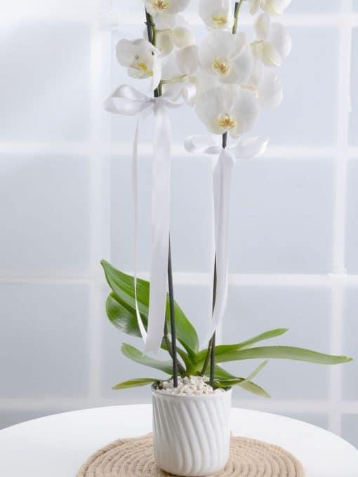 Masumiyet Timsali Beyaz Orkide – 3