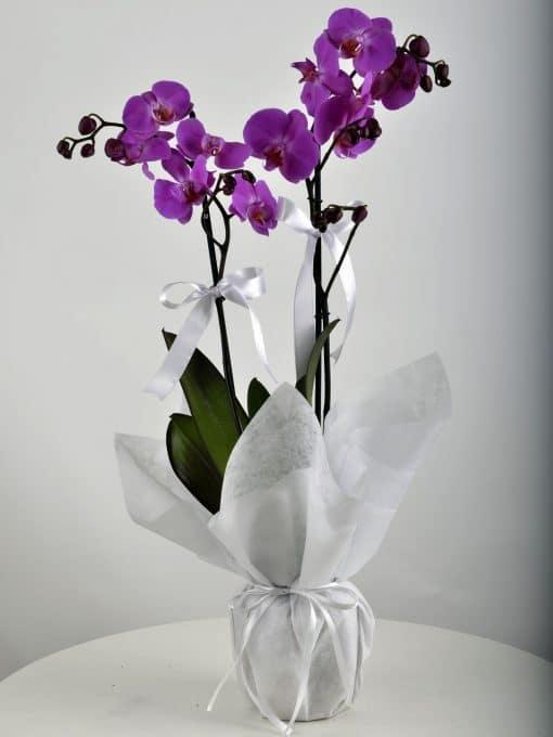 Paketli Mor Orkide – 2