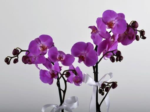 Paketli Mor Orkide – 3