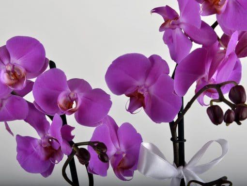 Paketli Mor Orkide – 4